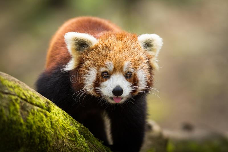 Red panda walking on the tree in the forest. France. Very close royalty free stock images