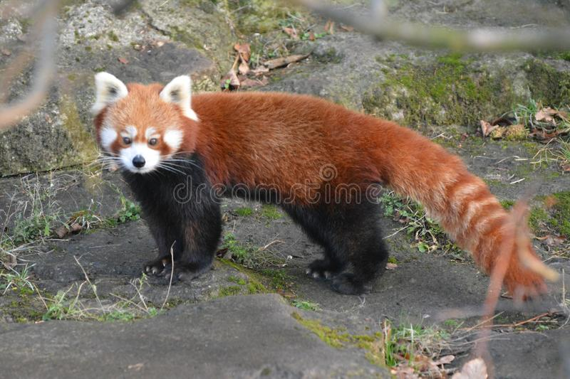 A red panda wanders in its territory stock photography