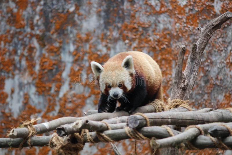 Red panda on wooden scaffolding stock image