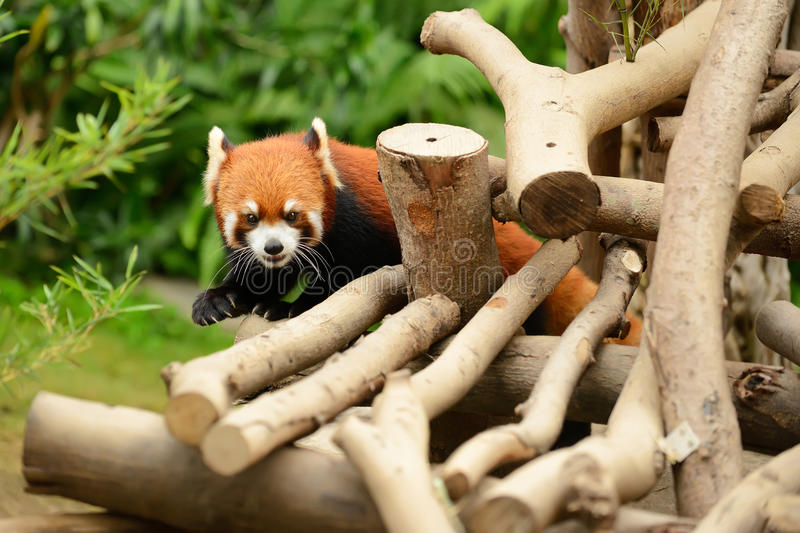 Download Red Pandas Stock Photography - Image: 25901112