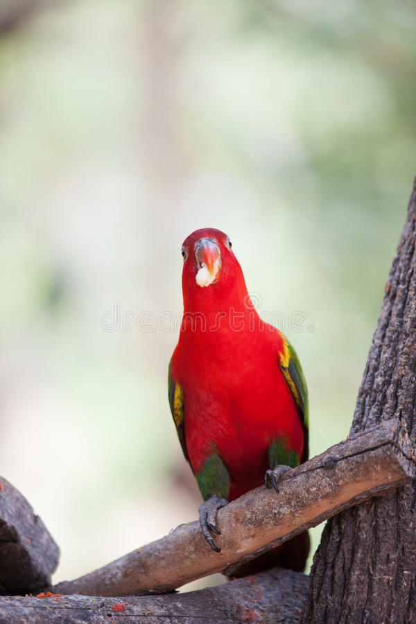 Download Red parrot stock image. Image of color, parrot, path - 39697181