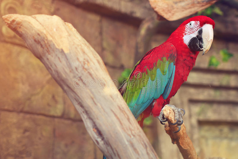 Red parrot bird in the jungle in an old tree on a background of a stone wall. Colorful parrots on dry branches of trees. Wild birds in the park stock photos