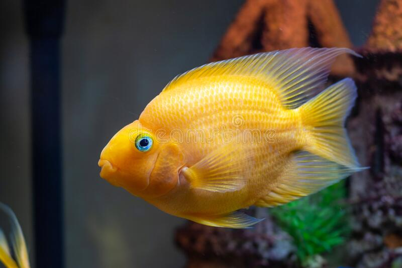 Red Parrot Cichlid Aquarium Fish at Freshwater Aquarium, close-up. Red Parrot Cichlid Aquarium Fish at Freshwater Aquarium,  close-up royalty free stock photography