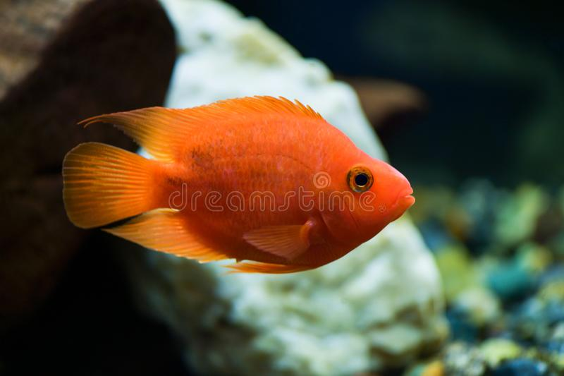 Red parrot fish swims in a aquarium. Red parrot fish swims in a beautiful aquarium royalty free stock photo