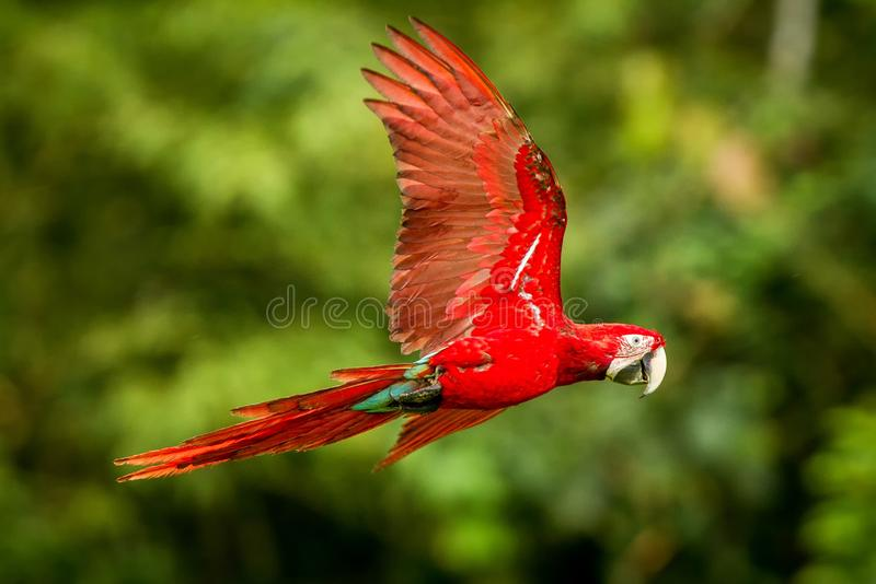 Red parrot in flight. Macaw flying, green vegetation in background. Red and green Macaw in tropical forest royalty free stock photography