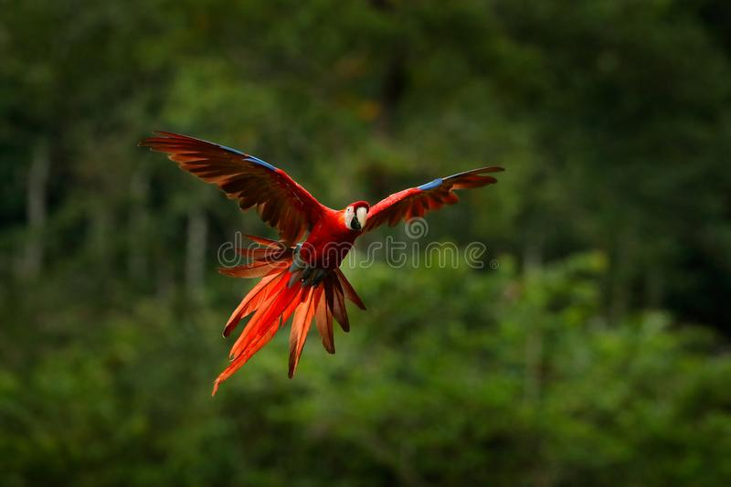 Red parrot in forest. Macaw parrot flying in dark green vegetation. Scarlet Macaw, Ara macao, in tropical forest, Costa Rica. Wild. Life scene from tropical stock photography