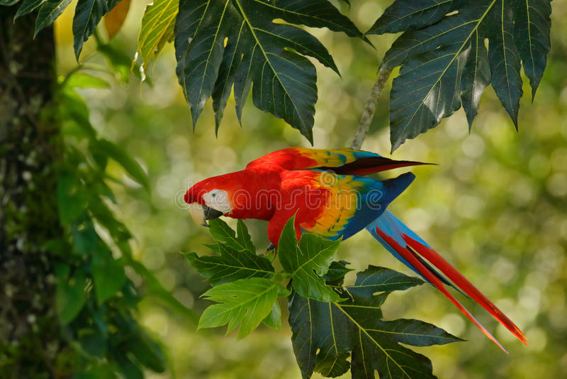 Red parrot in green vegetation. Scarlet Macaw, Ara macao, in dark green tropical forest, Costa Rica, Wildlife scene from tropic na stock photo