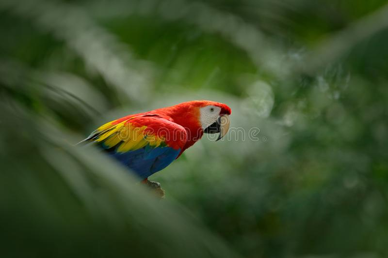 Red parrot in green vegetation. Scarlet Macaw, Ara macao, in dark green tropical forest, Costa Rica, Wildlife scene from tropic na. Ture royalty free stock image
