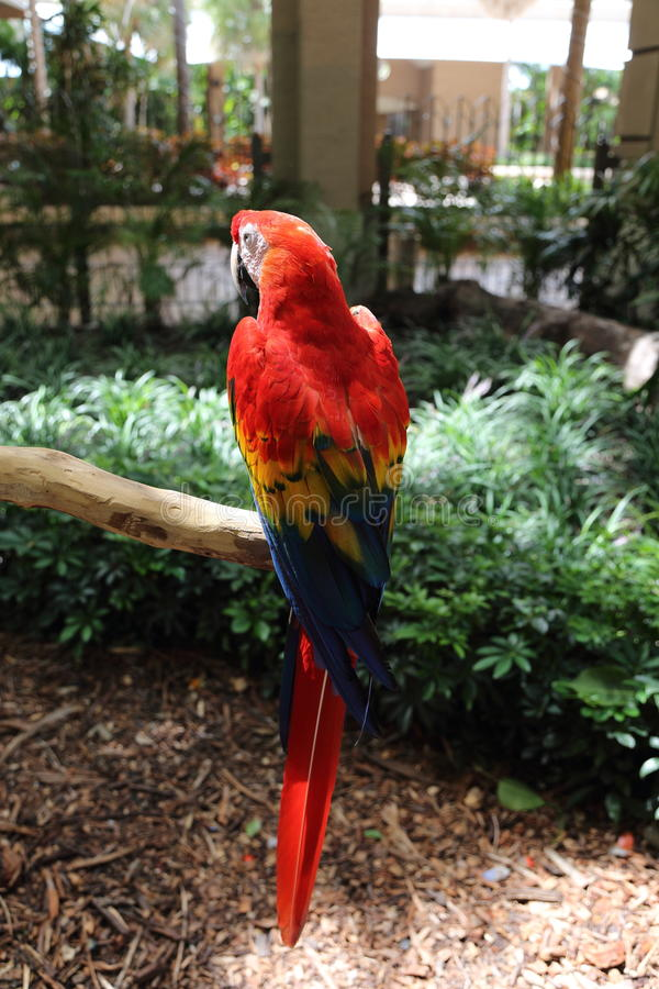Red parrot, Jungle Island, Miami, Florida. Red parrot on perch in Jungle Island, Miami, Florida stock photography
