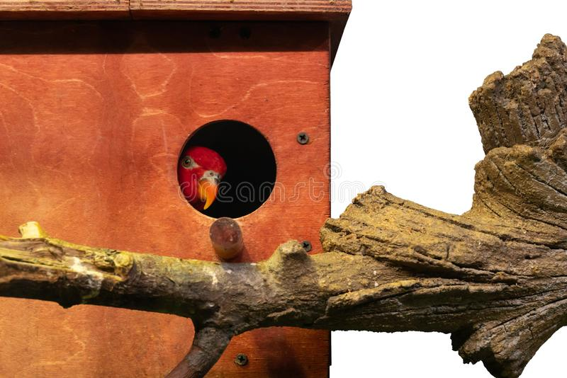 Red parrot looks out of a wooden birdhouse isolated royalty free stock photography