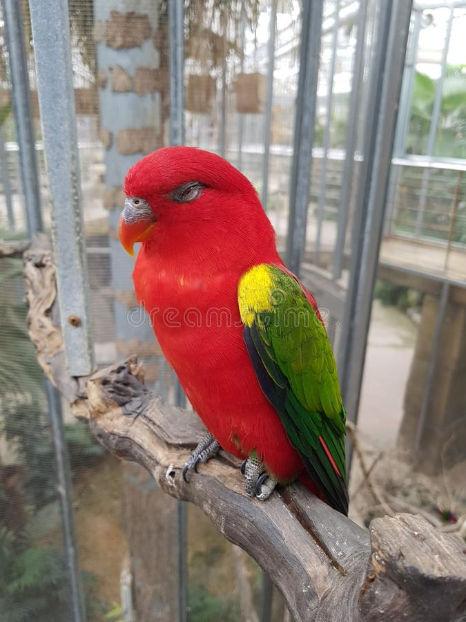 A red parrot perched on an old tree trunk. With the best quality and resolution royalty free stock image