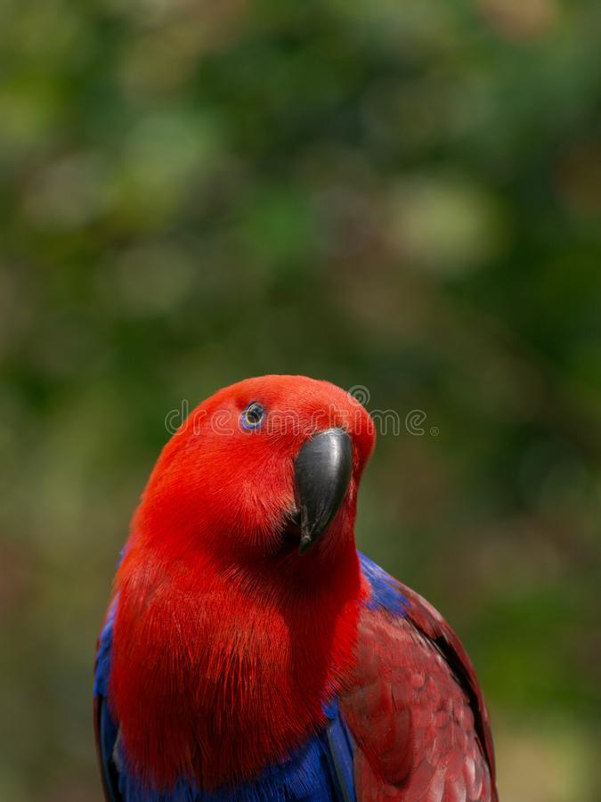 Red parrot. Portrait of red parrot isolated natural bokeh background royalty free stock image