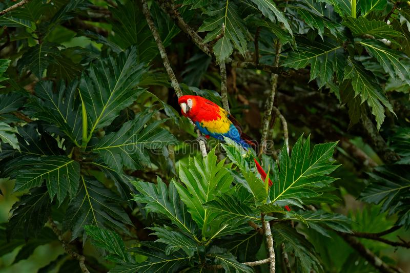 Red parrot Scarlet Macaw, Ara macao, bird sittin on the branch with food, Brazil. Wildlife scene from tropical forest. Beautiful p. Red parrot Scarlet Macaw, Ara stock images