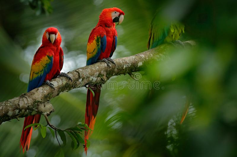 Red parrot Scarlet Macaw, Ara macao, bird sittin on the branch with food, Brazil. Wildlife scene from tropical forest. Beautiful p. Arrot on tree branch in stock photos