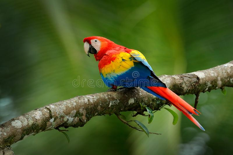 Red parrot Scarlet Macaw, Ara macao, bird sitting on the branch, Brazil. Wildlife scene from tropical forest. Beautiful parrot on. Tree freen tree in nature stock images