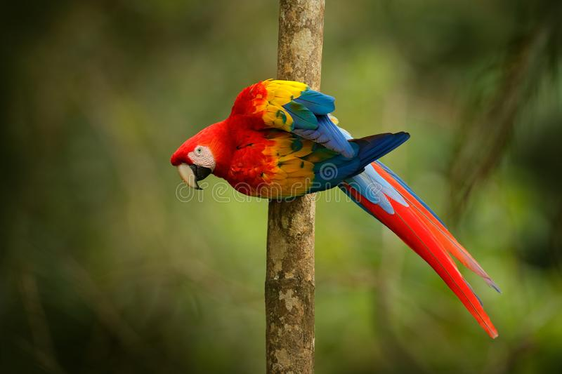 Red parrot Scarlet Macaw, Ara macao, bird sitting on the branch, Brazil. Wildlife scene from tropical forest. Beautiful parrot on. Tree freen tree in nature stock photography