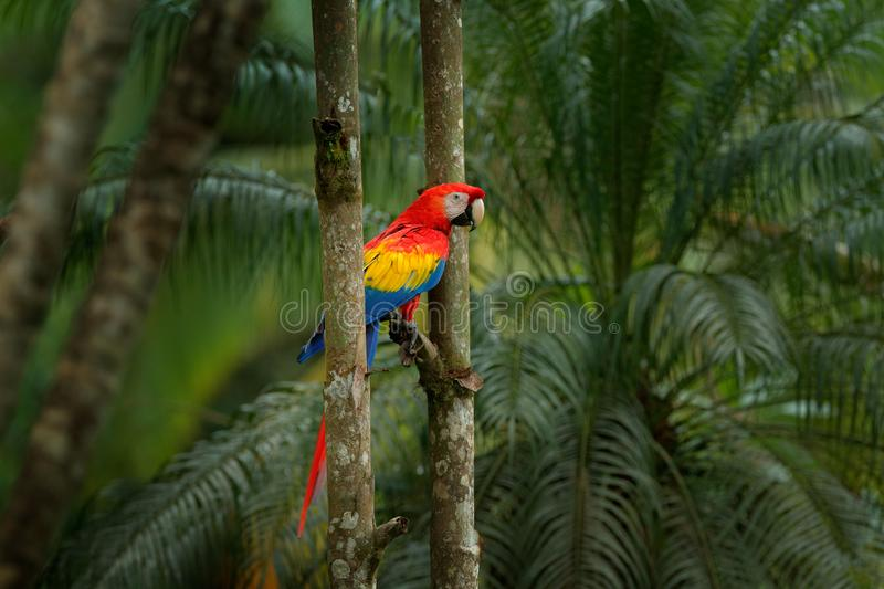 Red parrot Scarlet Macaw, Ara macao, bird sitting on the branch, Brazil. Wildlife scene from tropical forest. Beautiful parrot on. Tree freen tree in nature royalty free stock photos