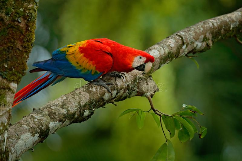 Red parrot Scarlet Macaw, Ara macao, bird sitting on the branch, Brazil. Wildlife scene from tropical forest. Beautiful parrot on. Tree freen tree in nature royalty free stock image