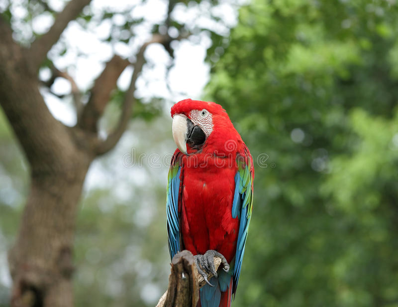A red parrot. Stand on branch in a theme park royalty free stock photos