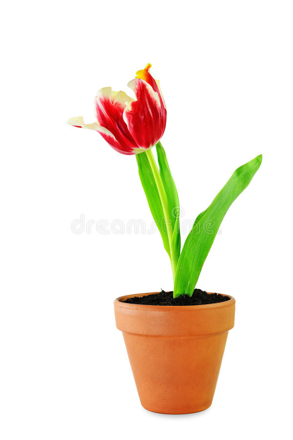 Red parrot tulip royalty free stock photo