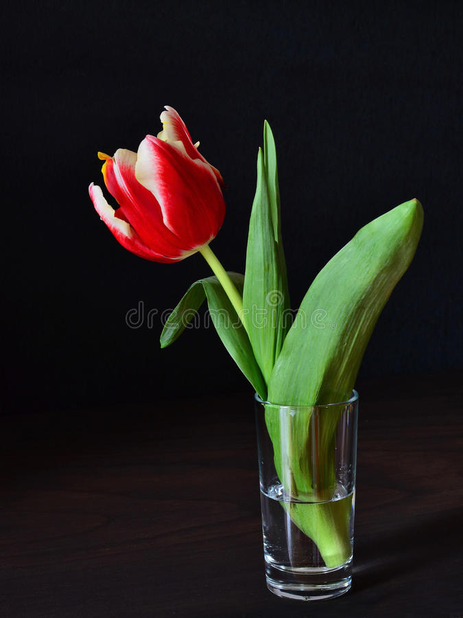 Red parrot tulip stock photography