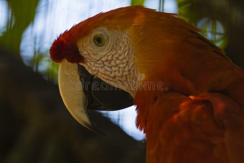 A red parrot with yellow beak. At Foz do Iguasu, Brasil stock photography