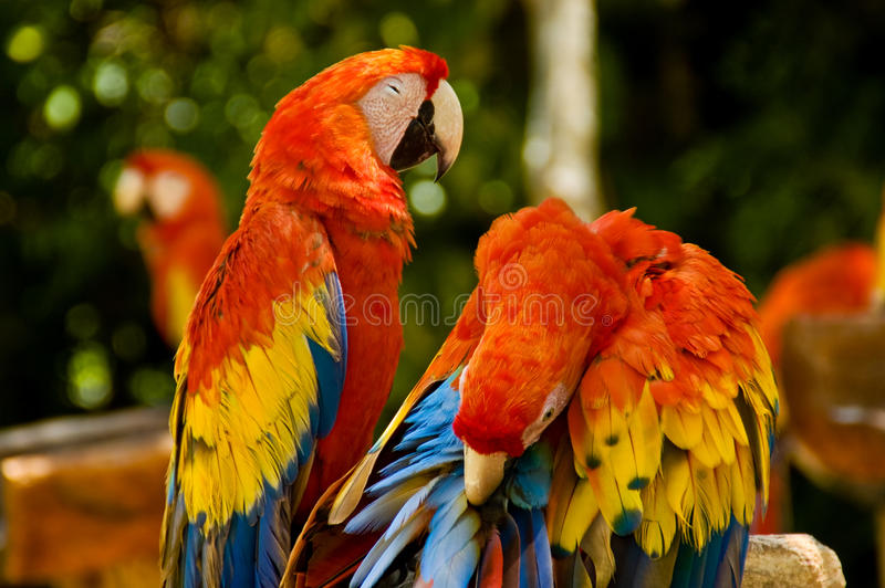 Red Parrots. Parrots grooming in the middle of the jungle royalty free stock photos