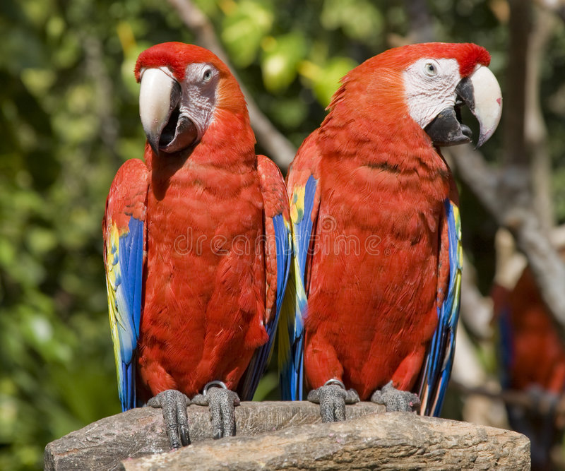 Download Red Parrots stock image. Image of vibrant, double, beak - 7803857