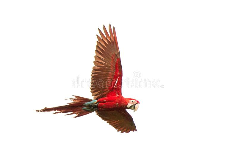 Red parrots in flight. Macaw flying, white background, isolated bird,red and green Macaw in tropical forest, Brazil. Wildlife scene from tropical nature royalty free stock image