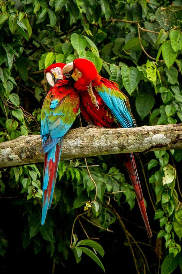Red parrots grooming each other on branch, green vegetation in background. Red and green Macaw in tropical forest. Brazil, Wildlife scene from tropical nature stock photo