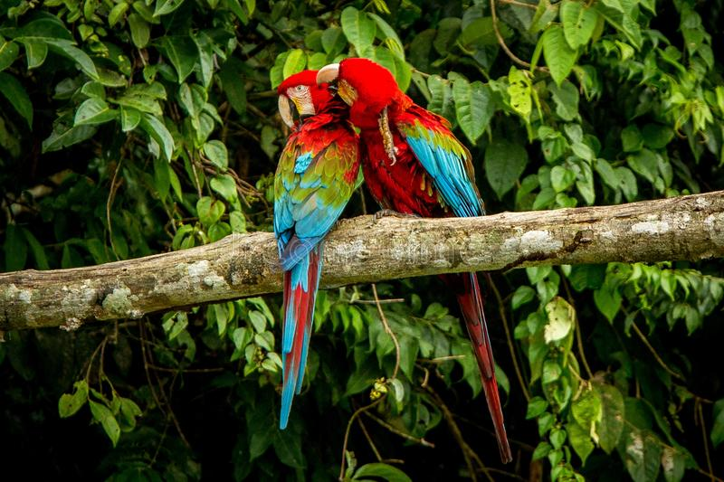 Red parrots grooming each other on branch, green vegetation in background. Red and green Macaw in tropical forest, Brazil. Wildlife scene from tropical nature stock photography