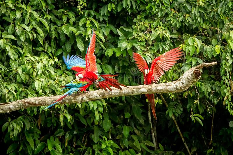 Red parrots landing on branch, green vegetation in background. Red and green Macaw in tropical forest, Peru, Wildlife scene. From tropical nature. Beautiful royalty free stock images