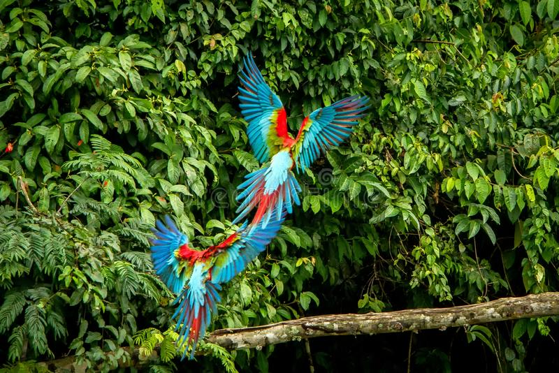 Red parrots landing on branch, green vegetation in background. Red and green Macaw in tropical forest, Peru. Wildlife scene from tropical nature. Beautiful royalty free stock images