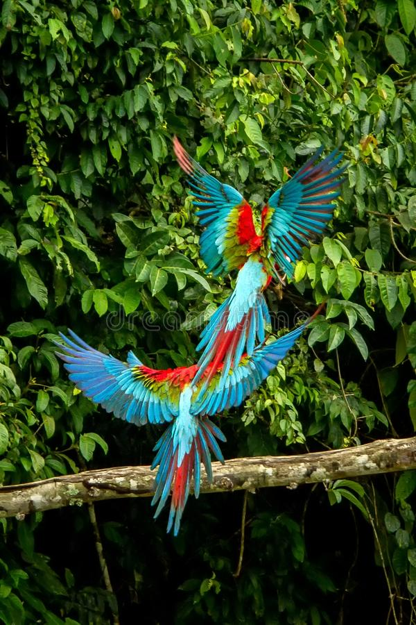 Red parrots landing on branch, green vegetation in background. Red and green Macaw in tropical forest, Peru. Wildlife scene from tropical nature. Beautiful stock image