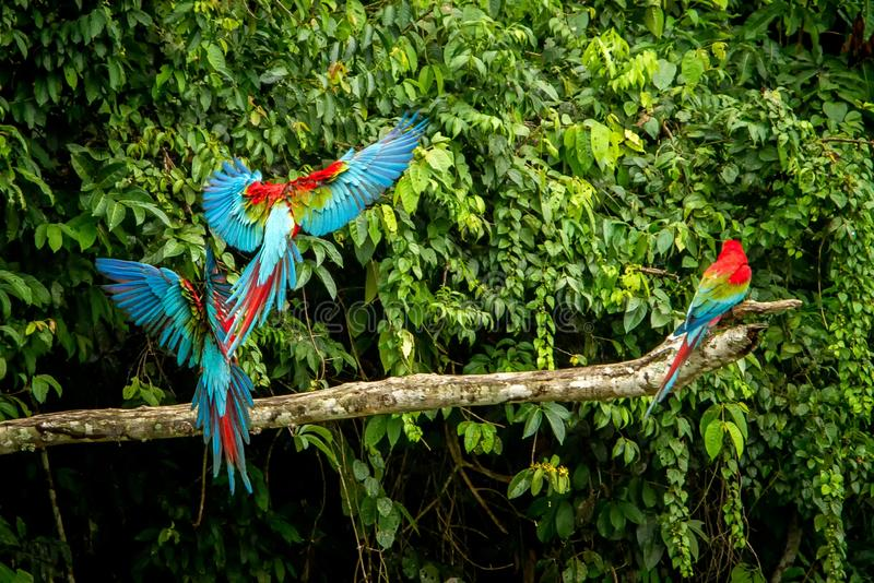 Red parrots landing on branch, green vegetation in background. Red and green Macaw in tropical forest, Peru. Wildlife scene from tropical nature. Beautiful stock photo