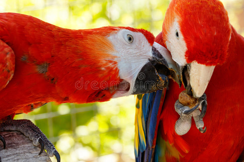 Red parrots in love. stock photos
