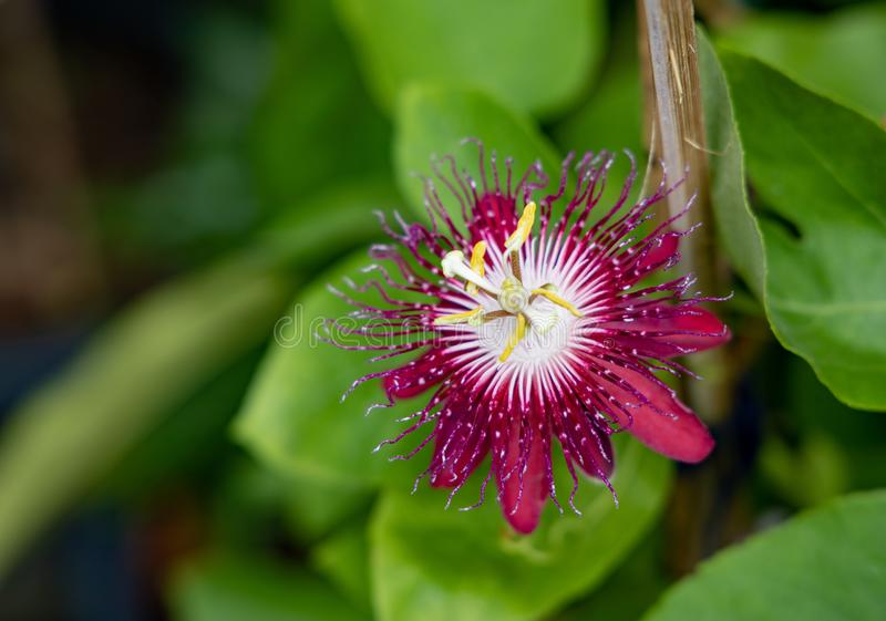Red Passiflora flower with leaf. Close up of a single red flower of Passiflora on a vine with green leaves  in a garden royalty free stock photography