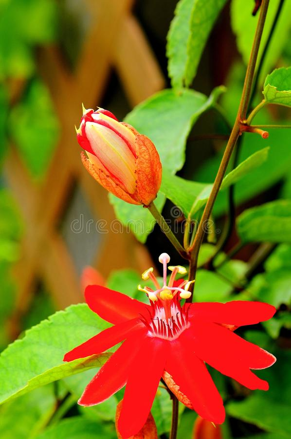 Red passiflora. A Passiflora, Mary Jane, passion vine or passion flower in Butterfly World, South Florida royalty free stock image