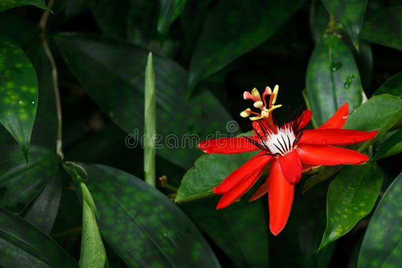 Red Passion Flower. Passiflora miniata Vanderplank stock photos