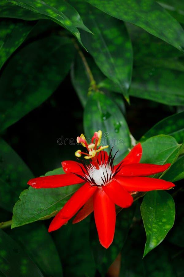 Red Passion Flower. Passiflora miniata Vanderplank royalty free stock photography