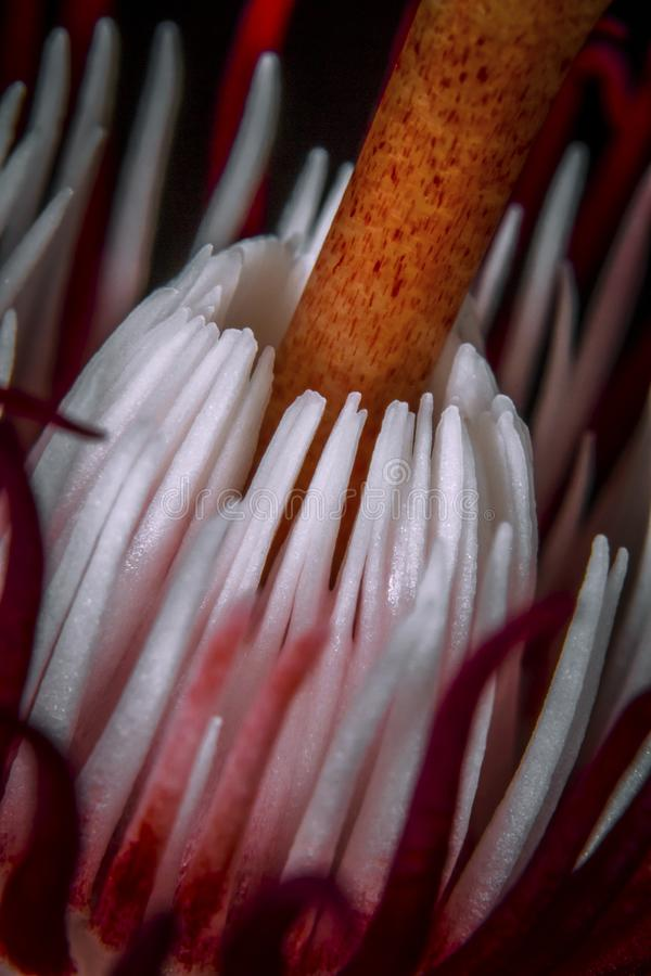 Red passion flower, passiflora racemosa close-up picture stock photos