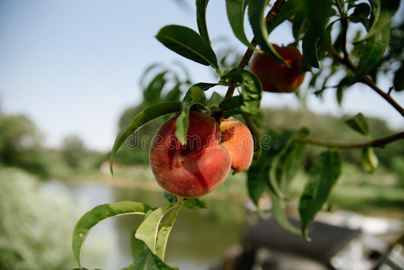 The Ripe and Fruity Pile of Sun Kissed Peaches Cotton Tea Towel