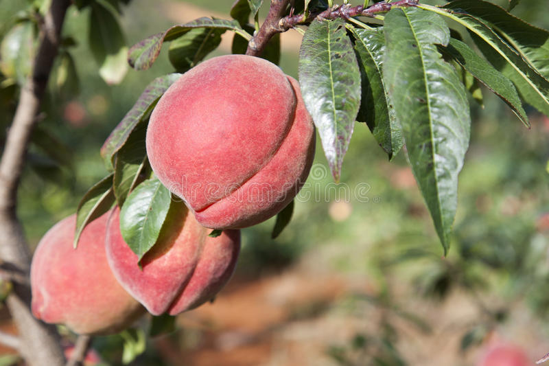 Download Red Peaches on Tree stock photo. Image of fruits, harvest - 27113218