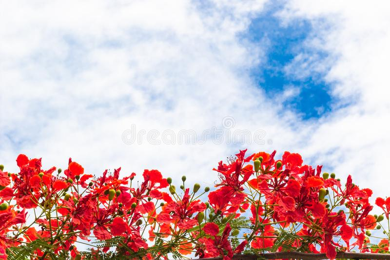 Red peacock flowers. Flower fence, Peacock`s crest, Pride of Barbados tree on blue sky background royalty free stock images