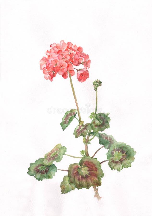 Red pelargonium flowers. The hand painted watercolor of red pelargonium flowers vector illustration