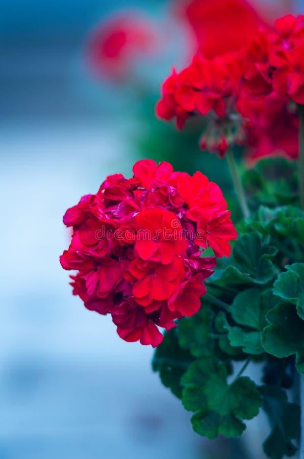 Red Pelargonium Geranium. Flower close up royalty free stock images