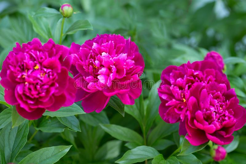 Red peonies in a flowerbed on a summer day. Close up royalty free stock images