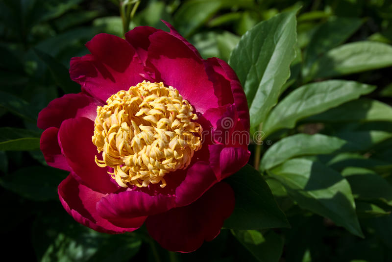 Red Peony stock photos