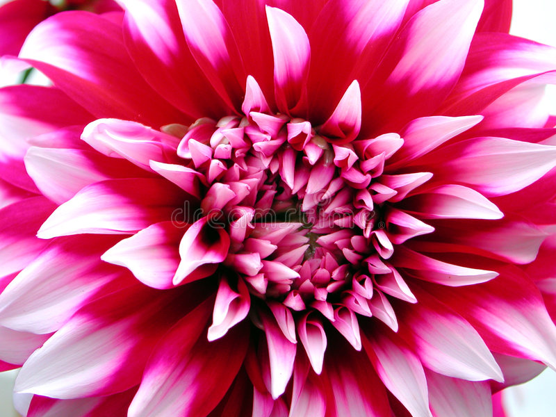 Download Red peony stock image. Image of peony, detail, flowers - 653387
