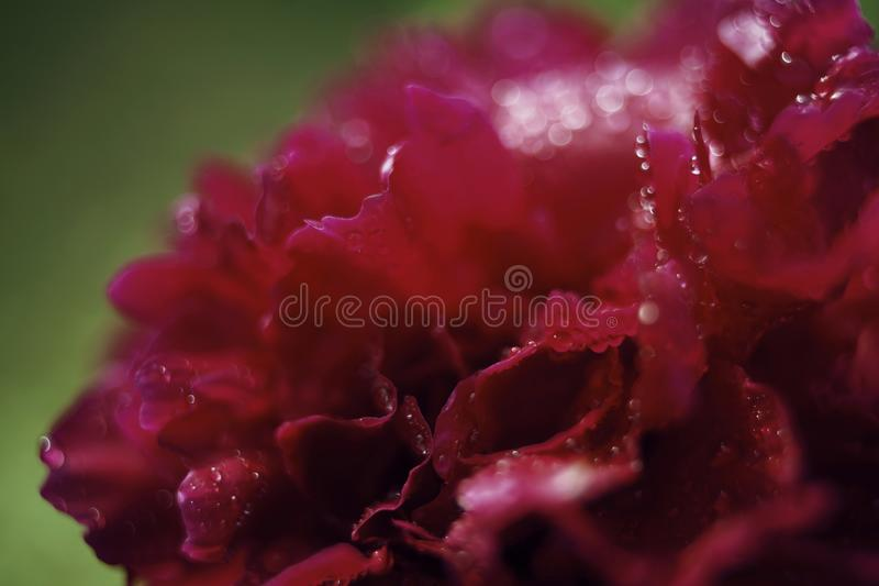 Peony red flower blur drops green background. Red peony flower drop blur background bokeh abstract stock images